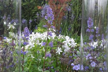 Nepeta flowers on one of the show gardens at RHS Malvern Spring 2015